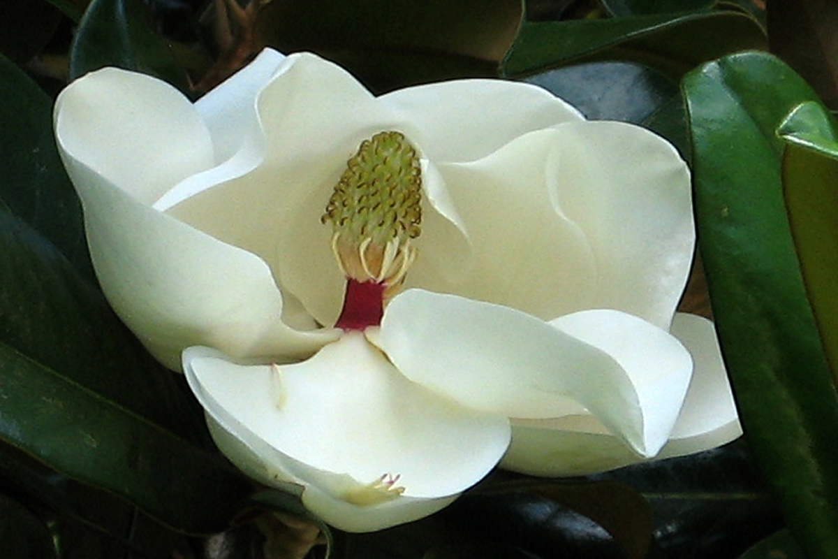 FL 1 White Magnolia 4x6 copy