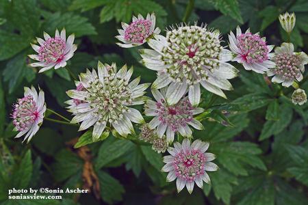 FL-142-Flower-Cluster-IMG_5169