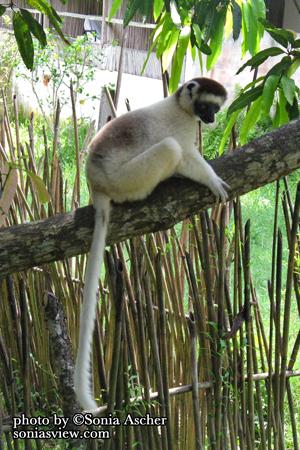 ZO-82-White-Lemur---Madagascar-IMG_0523